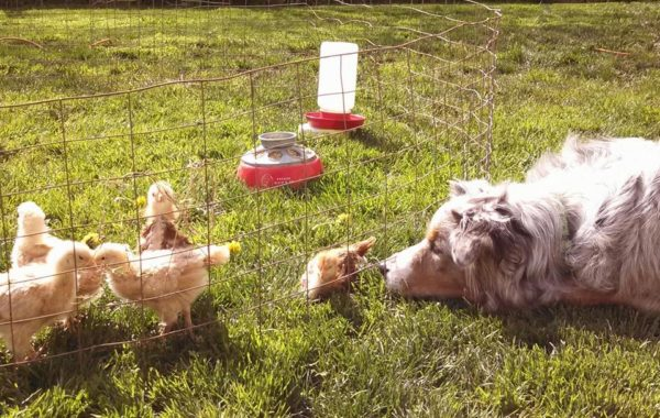 Yesterday was the chicks first day in the yard, Ginger is keeping a watchful eye.