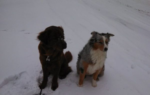 Louie and Ginger nice a settled for now…but this snow brings out the puppy in them!