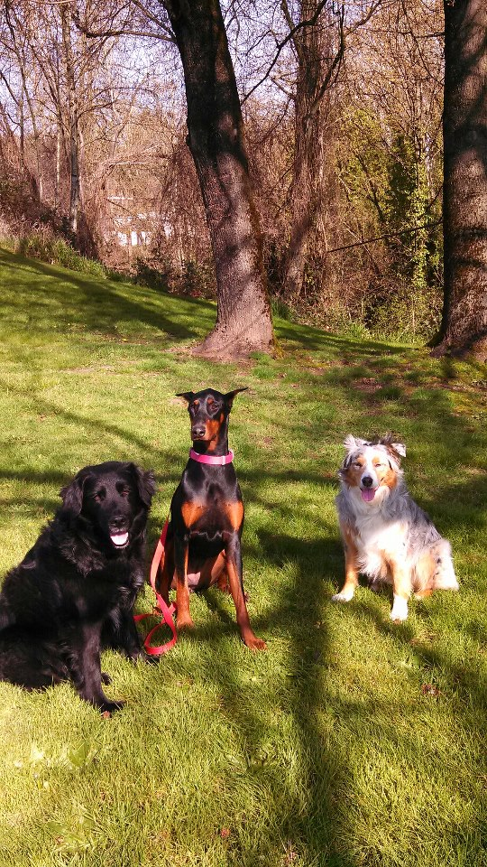 I have had the privilege of working with Lucy pictured center. What a fun girl she is. Working on sit/stay on a nice sunny day.